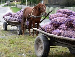 картопля на фірі