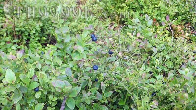 ягоди чорниці на кущі
