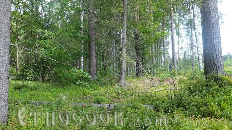 чорниці в лісі