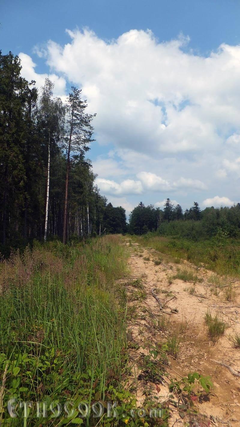 мішаний ліс з чорницями