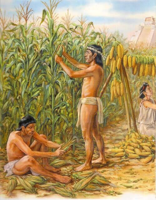 Кукурудза - етнічна злакова рослина Мексики