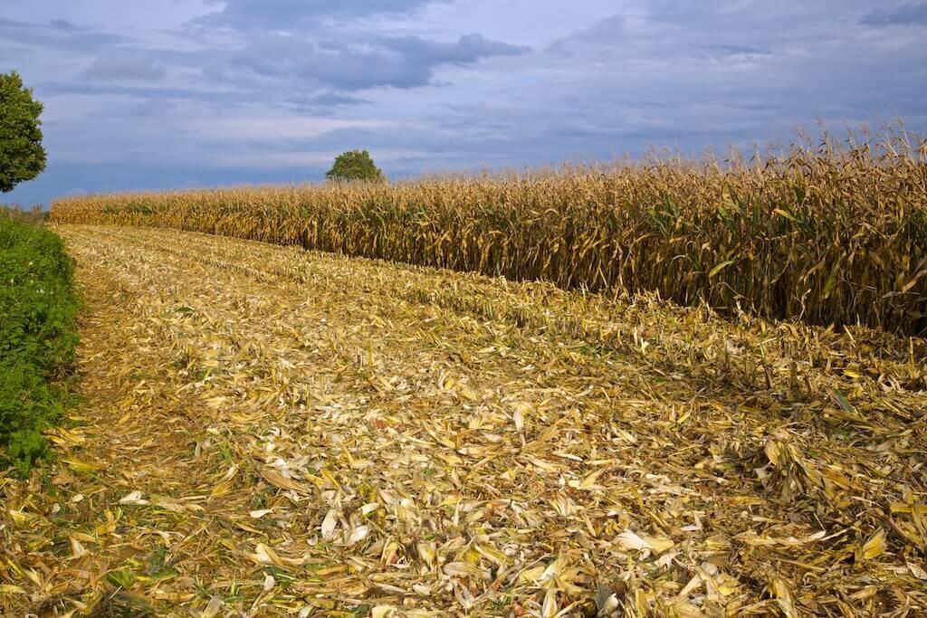 Збір урожаю кукурудзи