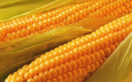 качан сучасної кукурудзи